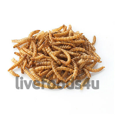 Live Regular Mealworms Bulk Bag 1kg 20-25mm Livefoods Reptiles Wild bird Fish