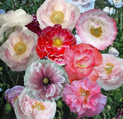 PAPAVER RHOEAS Coquelicot POPPY INDIAN DOUBLE SHIRLEY  1000 Graines 1000 Seeds