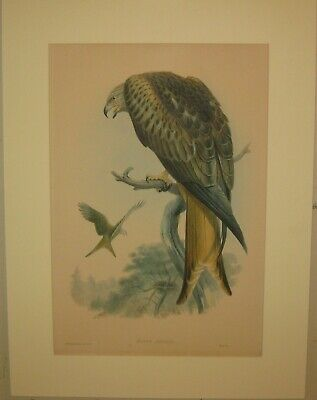 JOHN GOULD ''Milvus Regalus (Kite or Glead)' Lithograph - Birds of GREAT BRITAIN