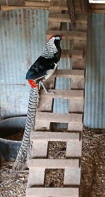 6 lady Amherst Pheasant Hatching Eggs