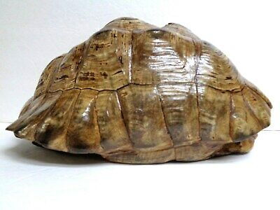Large African Leopard Tortoise Shell - (Geochelone Pardalis) Taxidermy -Perfect
