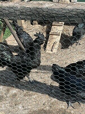 6 Ayam Cemani hatching eggs