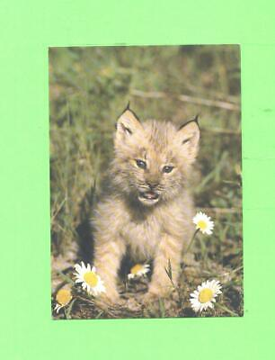 A Card Image Young Lynx North American Wildlife