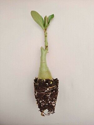 3 Desert Rose Plants//Adenium Obesum Mixed colors US Seller Height 6-8 inches
