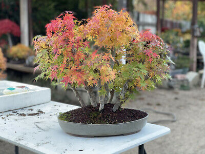 Bonsai Acer Palmatum Bonefire Japanese Maple Grouping Forest 45 Yrs Show Piece 1 995 00 Picclick