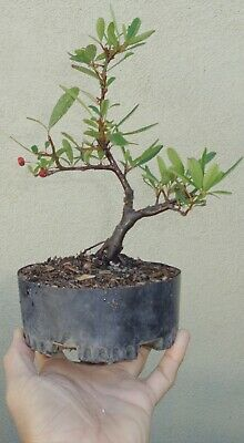Santa Cruz Pyracantha Firethorn Pre Bonsai Raft Shohin Mame Flowers Berries 29 99 Picclick