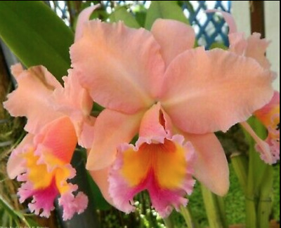Thong Supan ´ Pure Gold ´ Scent XL Plant Orchid Orchids Cattleya Blc