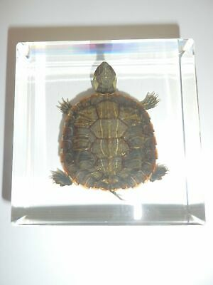 Farmed Water Slider Turtle in Clear Square Paperweight Education Specimen
