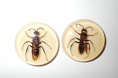 Insect Cabochon Yellow Paper Wasp 38.5 mm Round inner 36 mm Amber white 2 Pcs