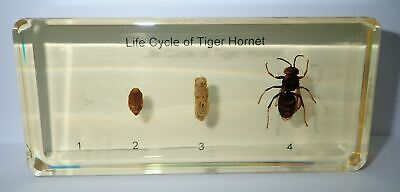 Tropical Tiger Hornet Life Cycle Set  in Amber Clear Block Education Specimen