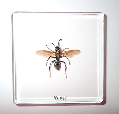 Yellow Paper Wasp in 75x75x10 mm Clear Square Slide Education Specimen Open Wing