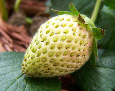 Strawberry Fragaria Yellow - Fragola Gialla, 50 Semi