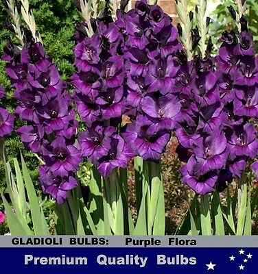 FLOWER BULBS - GLADIOLI - PURPLE FLORA - 10 Bulbs