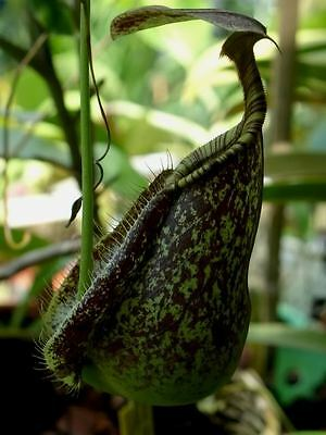 Nepenthes Rafflesiana Green Spotted Colour - Pianta Carnivora, 5 Semi