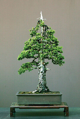 Abies Pindrow - Abete Di Pindrow, 10 Semi