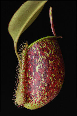 Nepenthes Ampullaria Tricolor - Pianta Carnivora, 5 Semi