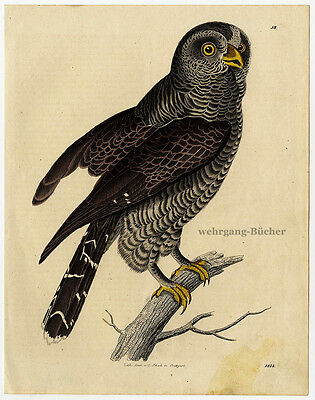 Beautiful Buzzard, Original antique by hand colored copper engraving from 1844.