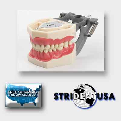 Dental Typodont Model Ag3 Fg3 Ivorine Teeth Frasaco Ag3 Type 5 Free Molars