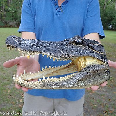 12 inch Alligator head from 8 foot gator skull real taxidermy reptile (S)