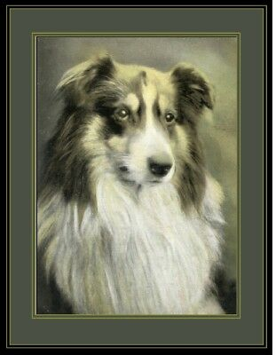 English Print Australian Shepherd  Dog Head Art Picture