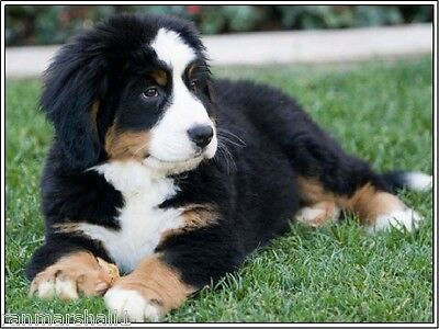 Pack of 4 Puppy Dog Bernese Mountain Stationery Greeting Notecards/ Envelopes