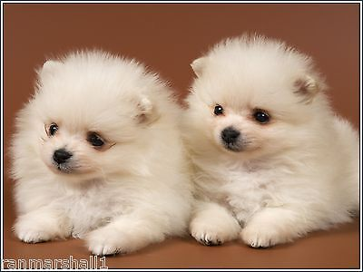 4Pack Puppy Dog Pomeranian Dogs Puppies White Greeting Notecards / Envelopes