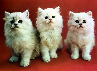 2 WHITE PERSIAN CATS / KITTENS - Blue eyes - on wall Figurine