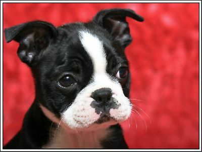Set of 4 Puppy Dog Boston Terrier Dogs Greeting Stationery Notecards / Envelopes