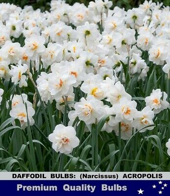 FLOWER BULBS - GLADIOLI - RAINBOW  Mix -50 BULBS