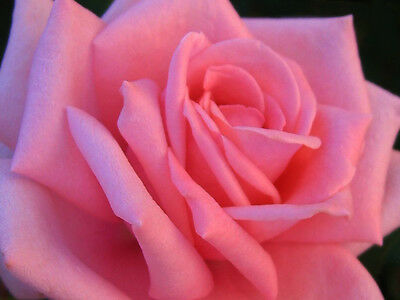 Rosa Rosa - Pink Rose, 10 Semi Scelti / 10 Selected Seeds