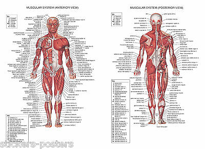Human Muscular System Education Anatomy Muscle Biceps Poster Print Laminated