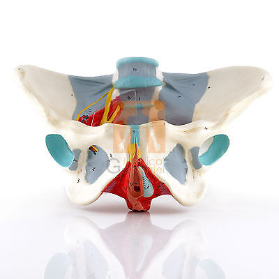 Brand New Medical Anatomy Female Pelvis Model#A With Floor Muscle and Nerve