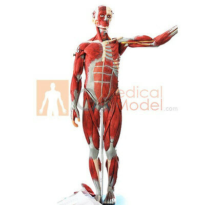 Medical Anatomical Model Muscles of Male Man Muscles 18 Parts 78*12*16cm