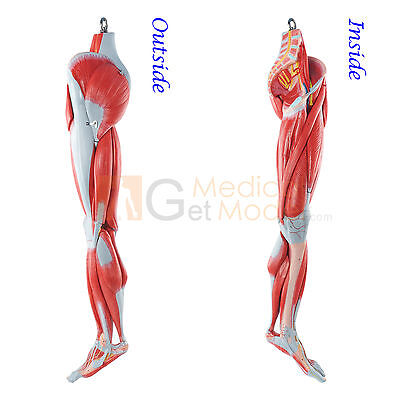 Medical Anatomical Model Human Muscles of Leg with Main Vessels and Nerves