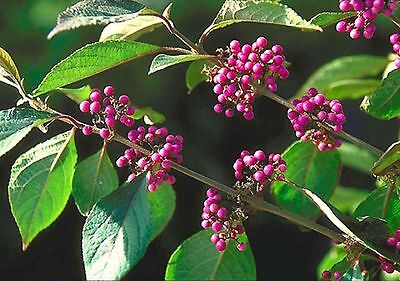 Callicarpa Profusion in 9cm pot