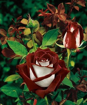 "FRESH Premium ""Love In"" Rose (10 Seeds) Striped Hybrid Roses, Hardy, L@@K!!!!!!!"