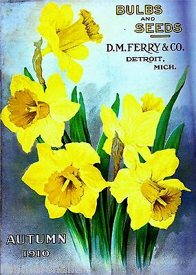 1910 Ferry Daffodil Vintage Flowers Seed Packet Catalogue Advertisement Poster