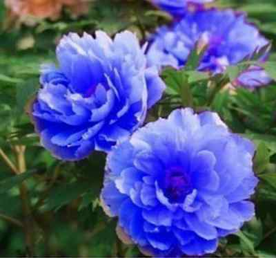 FD697 20 Seeds Chinese Blue Peony Flower Seed Beautiful Hot Flora Garden 20pcs