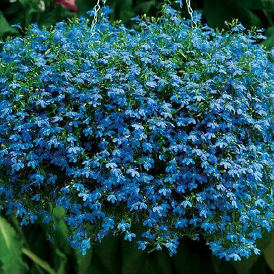 Lobelia Cambridge Blue Cascade 200 Seeds Beautiful Ground Cover Rock Garden