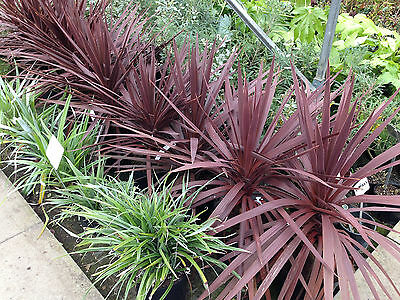 Cordyline australis Red Star - Cabbage Tree, Plant in 9cm Pot
