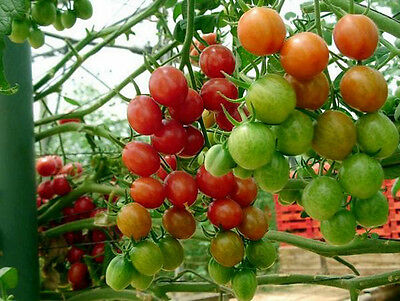 Tomato Large Red Cherry 50 Fresh Seeds Super Sweet Free Ship!