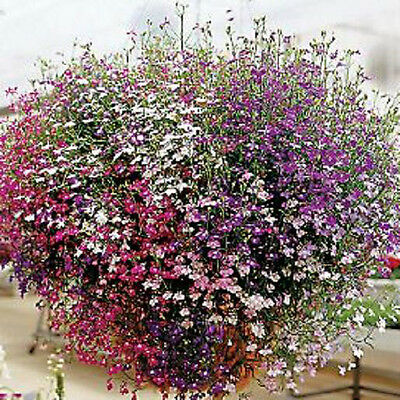 Lobelia Cascade of Color 200 Seeds Beautiful Ground Cover Rock Garden