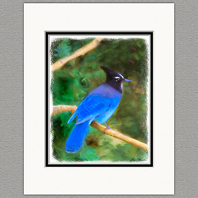 Steller's Jay Blue Jay Wild Bird Original Art Print 8x10 Matted to 11x14
