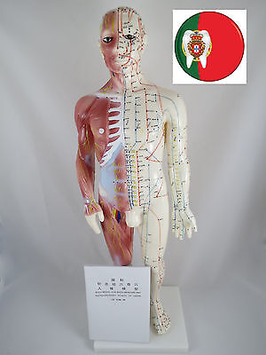 Professional Medical and Educational IT-120 Acupuncture Muscle Male 60cm ANGELUS