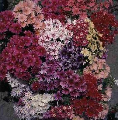 Phlox Beautiful Twinkle Star Mixed Colors 50 Seeds Hummingbirds Butterflies!