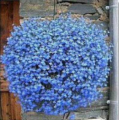 Lobelia Sky Blue Cascade 200 Seeds Beautiful Ground Cover Rock Garden