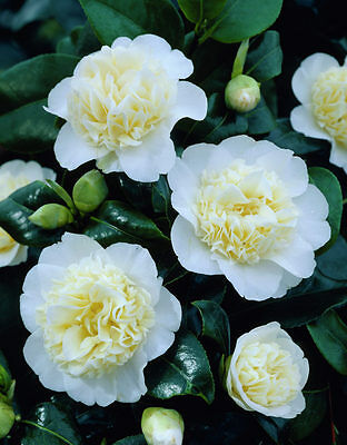 Camellia japonica Brushfield Yellow - Plant in 9cm Pot