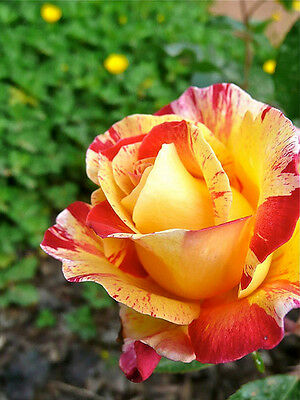 Rosa Striata Gialla - Yellow Stripped Rose, 10 Semi