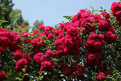Rosa Rampicante Rosso Scuro – Deep Red Climbing Rose, 10 Semi