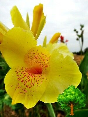 25 Seeds Yellow Canna Generalis Canna Lily Tropical Flower Viable Seeds 2016